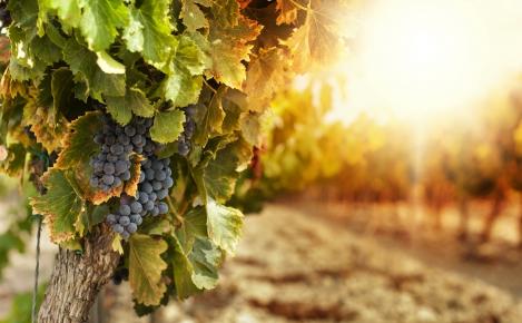Власти города Новороссийска презентуют инвесторам проект создания новых виноградников