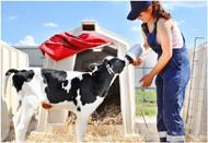 В сельском хозяйстве существует подсосно-поддойный метод выращивания телят.